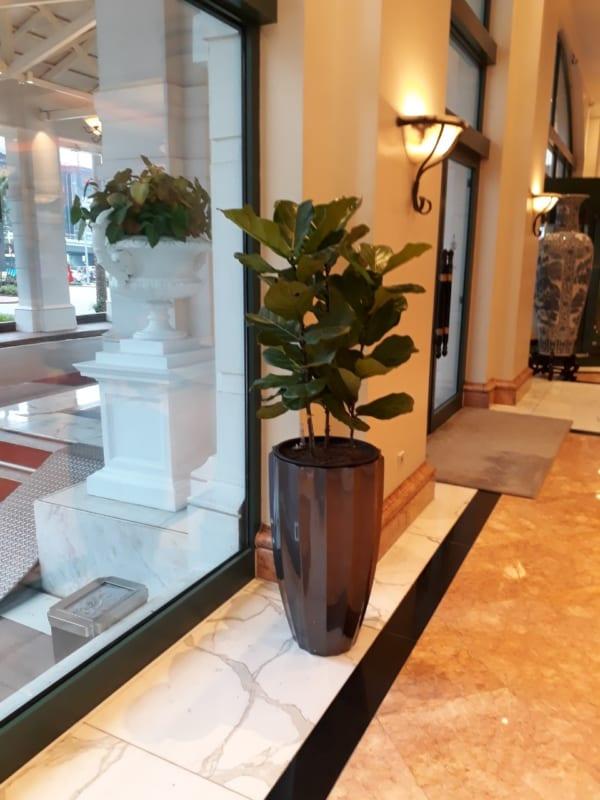 Cây bàng Singapo nội thất