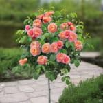 Cách trồng và chăm sóc hoa hồng trong chậu cho hoa sai, nở đẹp quanh năm